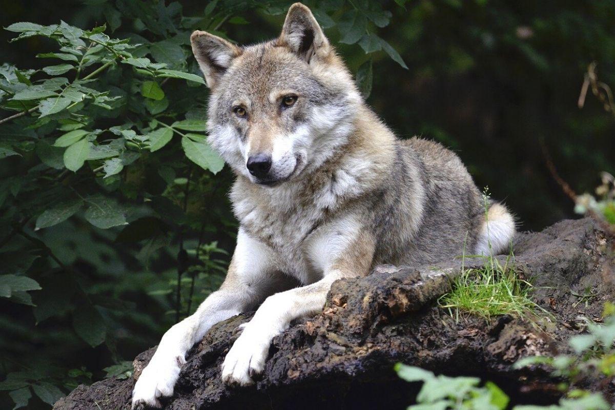 lupo e orso
